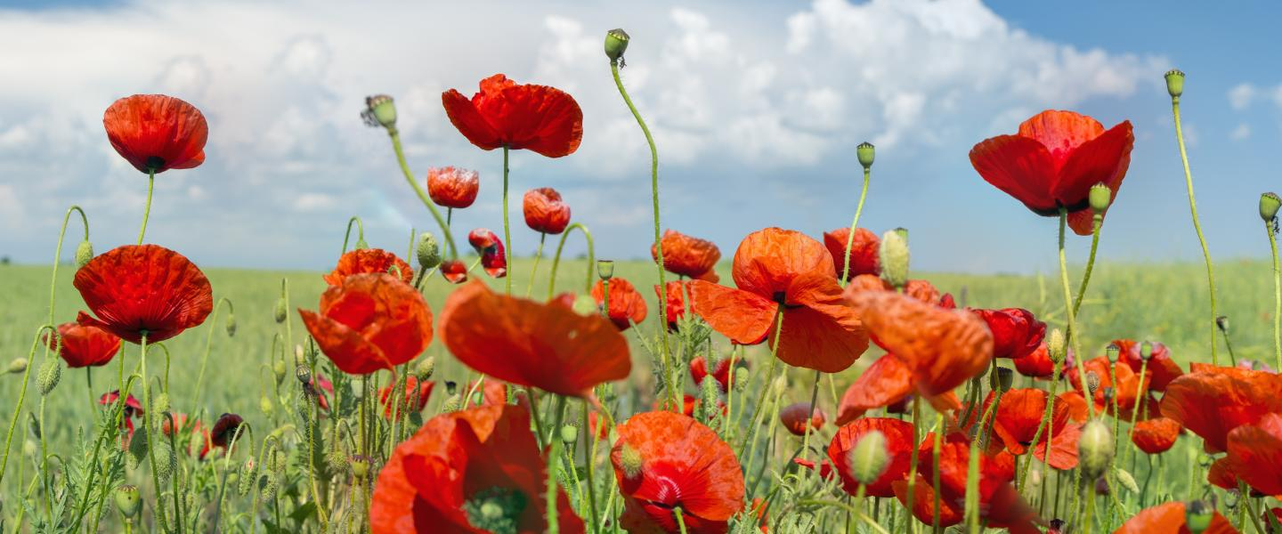 Banner photo of hillside with poppies